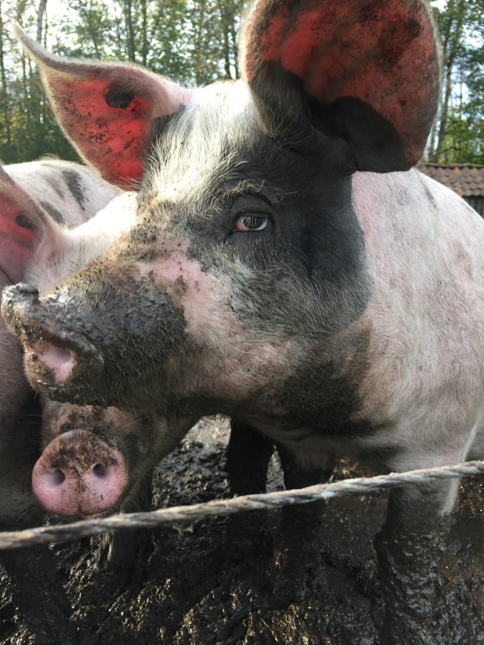 Zeug Groninger blaarkop varken