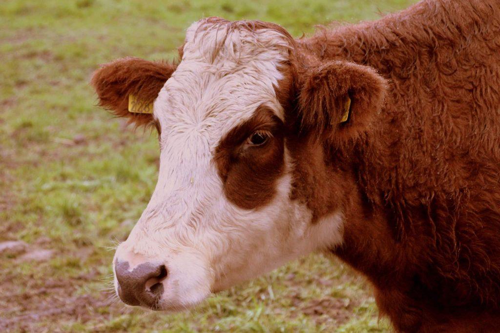 Groningse blaarkop koe